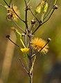 Hieracium longipilum.jpg