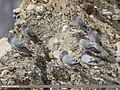 Hill Pigeon (Columba rupestris) (48660190521).jpg