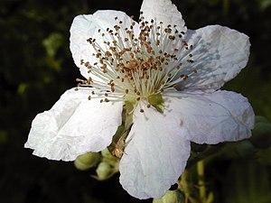 Rubus armeniacus - Himalayan Blackberry flower, Bay Area, California. Note spider on bottom petal.