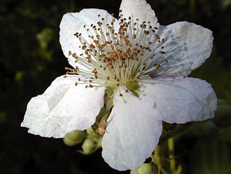Rubus armeniacus - Himalayan Blackberry flower, Bay Area, California. Note spider on bottom petal.