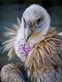 Himalayan Vulture (26544796904).jpg