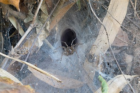 Hippasa holmerae (Lawn wolf spider) in its funnel web