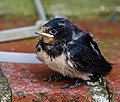 Hirundo rustica -West Sussex, England -chick-8.jpg