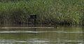 Hořejší Kařezský rybník, lyska.jpg