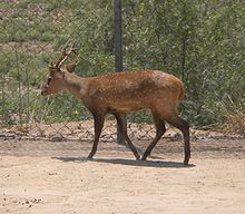 Hog Deer in Punjab Pakistan.jpg