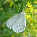 Hollyblue. Celastrina argiolus. u-s. - Flickr - gailhampshire.jpg