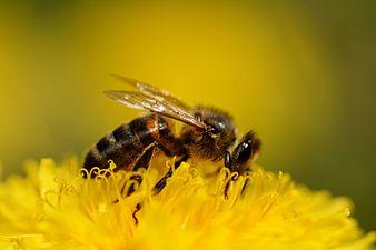 Honney bee (31939218552).jpg