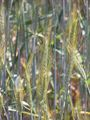 Hordeum vulgare L.jpg