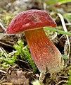 Hortiboletus rubellus (36141161320).jpg