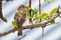 House Sparrow (Passer domesticus) 86.jpg