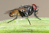 Housefly on Moringa.jpg