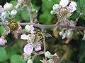 Hover-fly (Myathropa florea) (3269548358).jpg