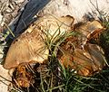 Huge fungus with profuse cinnamon spores - Flickr - gailhampshire.jpg