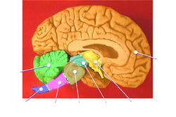 Human brain midsagittal cut color.png
