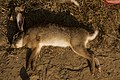 Hunting hare Lepus nigricollis MG 5312 14.jpg