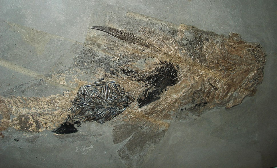 Hybodus with belemnites