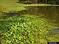 Hydrocotyle umbellata L. (AM AK350990-2).jpg