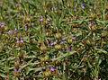Hygrophila schulli (Kolshinda) in Hyderabad W2 IMG 4441.jpg