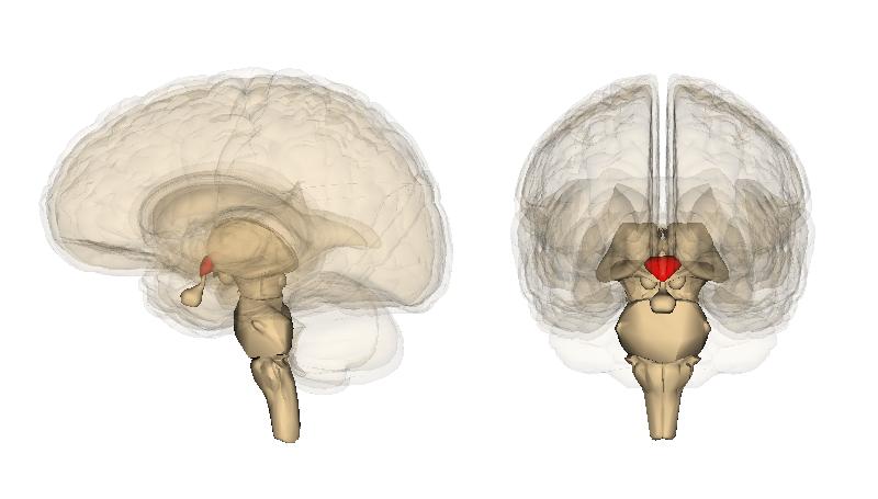 Hypothalamus image