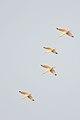 Ibis Blanco, White Ibis, Eudocimus albus (11915844674).jpg