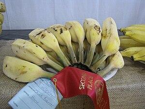 Blue Java banana - Ripe Blue Java fruit at the Maui County Fair, Kahului, Maui, Hawaii.