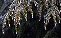 Icy hemlock, Boxborough, Massachusetts, 2008.jpg
