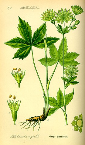 Illustration Astrantia major0.jpg