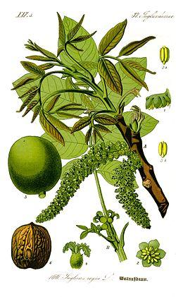 feuilles, fruits, graines du noyer