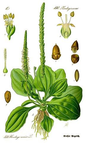 Grand Plantain 290px-Illustration_Plantago_major0_clean