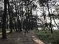 Imazu Pine Grove 10.jpg