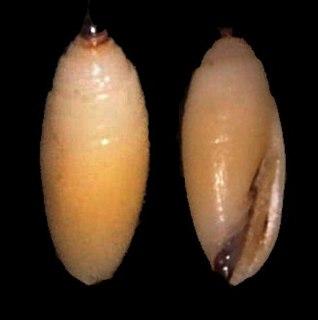 <i>Scabricola olivaeformis</i> species of mollusc