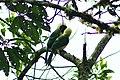 Inca Jay (Cyanocorax yncas), Cabañas San Isidro, Ecuador 2015-06-12 (6) (39616876724).jpg