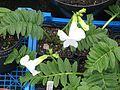 Incarvillea delavayi white - Flickr - peganum.jpg