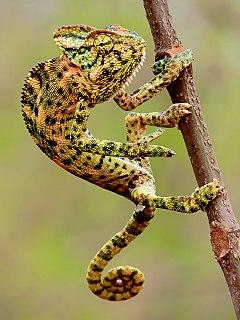 Chameleon family of reptiles