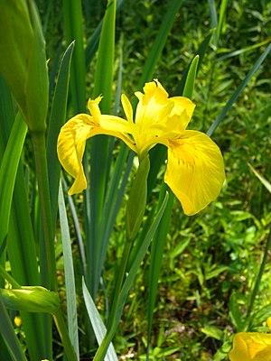 Iris pseudacorus - Image: Iris pseudacorus flower