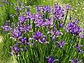 Iris spuria ssp maritima 4 (Espagne).jpg