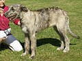 Irish Wolfhound brindle 1.jpg