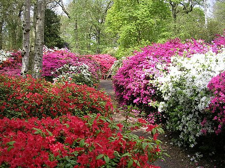 Azaleas flowering in Isabella Plantation in springtime Isabella Plantation - geograph.org.uk - 587462.jpg