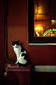Istanbul cat, Turkey, Southeastern Europe.jpg