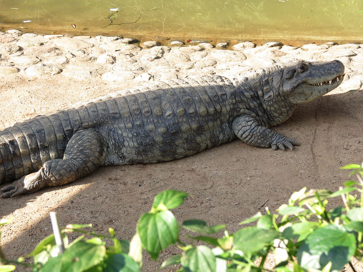 Broad-snouted caiman - Wikipedia