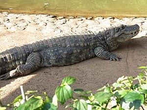 Caiman - Broad-snouted caiman (Caiman latirostris)