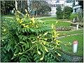 January Frost Botanic Garden Freiburg blühende China Mahonie Huapeh - Master Botany Photography 2014 - panoramio.jpg