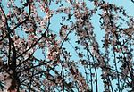 Japanese-Cherry.web.jpg