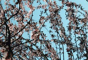Prunus - Japanese cherry (Prunus serrulata) in bloom