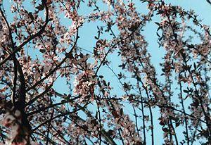 Prunus - Japanese cherry (Prunus serrulata) in bloom