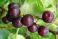 Jeannine Ponton Wild Cherries - panoramio.jpg