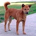 Jindo-dog1.jpg