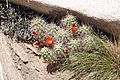 Joshua Tree National Park - Mojave Mound Cactus (Echinocereus triglochidiatus) - 09.JPG