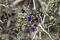 Joshua Tree National Park flowers - Psorothamnus schottii - 3.JPG