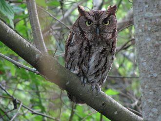Forbes Creek (Washington) - Owl in Juanita Bay Park
